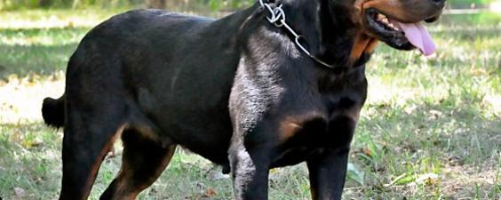 Weisheithaus Rottweilers